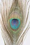 Ciérrese encima de pluma del pavo real Fotografía de archivo libre de regalías