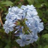 Ciérrese encima de poca flor azul Imagen de archivo libre de regalías
