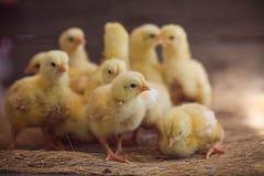 Ciérrese encima de polluelos amarillos en el piso Fotografía de archivo libre de regalías
