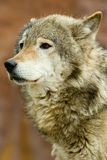 Ciérrese encima de portret de un lobo Fotografía de archivo