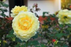 Ciérrese encima de rosa del blanco en Khao Kho Royal Palace en la montaña Phetchabun de Khao Kho en Tailandia Fotografía de archivo