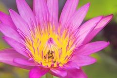 Ciérrese encima de rosa waterlily con la abeja en la charca Fotos de archivo libres de regalías