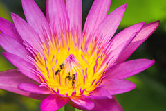 Ciérrese encima de rosa waterlily con la abeja en la charca Imagenes de archivo