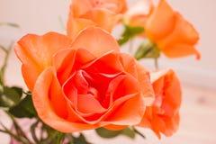Ciérrese encima de rosas anaranjadas Imagen de archivo libre de regalías