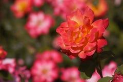 Ciérrese encima de rosas anaranjadas rojas imagen de archivo libre de regalías