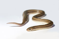 Ciérrese encima de serpiente Imagen de archivo libre de regalías