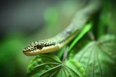 Ciérrese encima de serpiente de oro del árbol Imagen de archivo libre de regalías