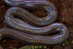 Ciérrese encima de serpiente del rayo de sol en Tailandia y Asia sudoriental Imagen de archivo