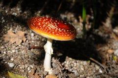 Ciérrese encima de sola seta del bosque en sombra debajo de bosque Foto de archivo libre de regalías