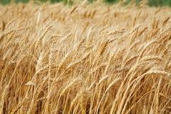 Ciérrese encima de tallos del trigo, cosecha de grano Fotografía de archivo