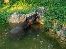 Ciérrese encima de tapir en la charca en la naturaleza con luz del sol Imagen de archivo libre de regalías
