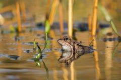 Ciérrese encima de temporaria del Rana de la rana de Brown Foto de archivo libre de regalías