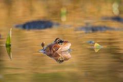 Ciérrese encima de temporaria del Rana de la rana de Brown Imagenes de archivo