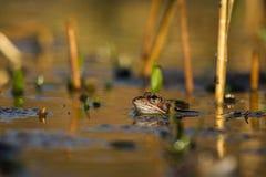 Ciérrese encima de temporaria del Rana de la rana de Brown Fotografía de archivo libre de regalías