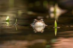 Ciérrese encima de temporaria del Rana de la rana de Brown Fotos de archivo