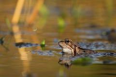 Ciérrese encima de temporaria del Rana de la rana de Brown Fotografía de archivo