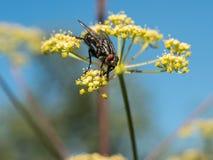 Ciérrese encima de tiro de la flor amarilla y vuele Tiro macro Fotografía de archivo
