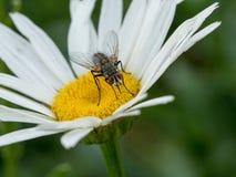 Ciérrese encima de tiro de la flor de la margarita blanca y vuele Tiro macro Fotografía de archivo libre de regalías