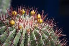 Ciérrese encima de tiro de un cactus Imagen de archivo
