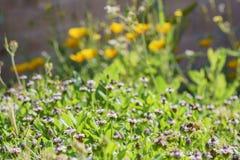 Ciérrese encima de tiro del flor púrpura de la flor salvaje con una abeja ocupada Fotografía de archivo