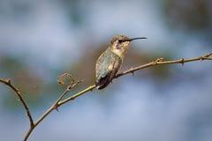 Ciérrese encima de tiro del pequeño colibrí Fotos de archivo libres de regalías