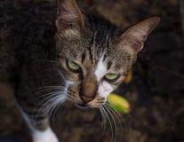 Ciérrese encima de tiro en cara del gato. fotografía de archivo libre de regalías