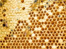 Ciérrese encima de tiro en la célula y abejas de la miel Imagen de archivo libre de regalías