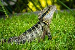 Ciérrese encima de tiro de un dragón de agua australiano con la cresta que mira la cámara imagenes de archivo