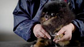 Ciérrese encima de tiro de un groomer femenino que corta cuidadosamente la piel en las patas del ` s del perro metrajes