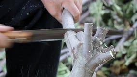 Ciérrese encima de tiro de un hombre que corta una rama del árbol con una sierra Cámara lenta almacen de metraje de vídeo