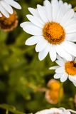 Ciérrese encima de tiro de una margarita en la floración Imagen de archivo libre de regalías