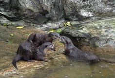 Ciérrese encima de tres nutrias mojadas en fondo de la naturaleza Foto de archivo libre de regalías