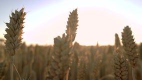 Ciérrese encima de trigo en el campo almacen de video