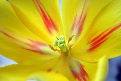Ciérrese encima de tulipán Fotos de archivo libres de regalías