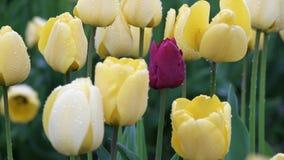 Ciérrese encima de tulipanes en el campo 4K UHD