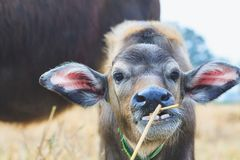 Ciérrese encima de un becerro del búfalo Imagen de archivo libre de regalías
