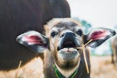 Ciérrese encima de un becerro del búfalo que come la comida Fotos de archivo