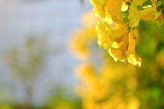 Ciérrese encima de un flor de la flor del trumpetbush del yeloow en jardín botánico fotografía de archivo libre de regalías
