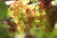 Ciérrese encima de un manojo de uvas frescas en el viñedo Imágenes de archivo libres de regalías