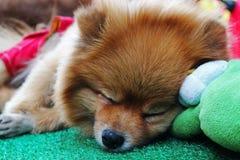 Ciérrese encima de un perro el dormir Fotos de archivo