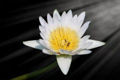 Ciérrese encima de una flor de loto Imágenes de archivo libres de regalías
