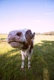 Ciérrese encima de vaca de la nariz Fotos de archivo