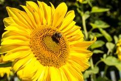 Ciérrese encima de vista del girasol grande con las abejas que recogen el néctar Foto de archivo libre de regalías