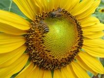 Ciérrese encima de vista a manosean la abeja dentro de la flor del sol Fotos de archivo