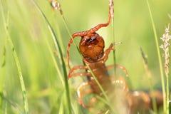 Ciérrese encima del animal peligroso del ciempiés rojo gigante en el jardín foto de archivo libre de regalías