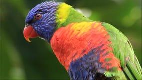 Ciérrese encima del arco iris Lorikeet del pájaro almacen de metraje de vídeo
