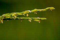 Ciérrese encima del arroz del punto Fotos de archivo libres de regalías