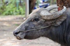 Ciérrese encima del búfalo tailandés Foto de archivo