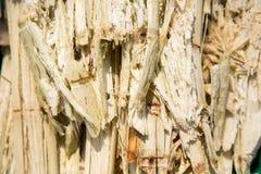 Ciérrese encima del bagazo de la pila de la caña de azúcar y de la abeja Foto de archivo libre de regalías