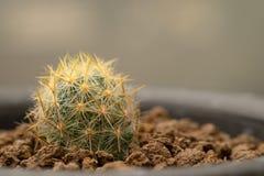 Ciérrese encima del cactus en el pote Fotos de archivo